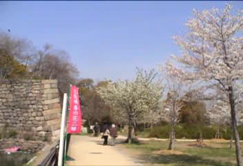 大阪城の桜見物…、②